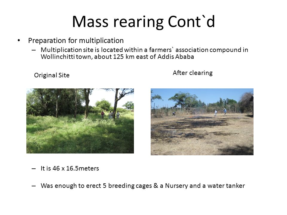 Mass rearing Cont`d Preparation for multiplication – Multiplication site is located within a farmers` association compound in Wollinchitti town, about 125 km east of Addis Ababa – It is 46 x 16.5meters – Was enough to erect 5 breeding cages & a Nursery and a water tanker Original Site After clearing