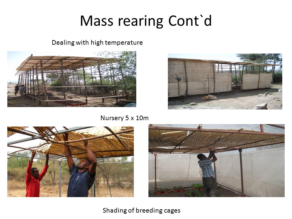 Mass rearing Cont`d Dealing with high temperature Nursery 5 x 10m Shading of breeding cages