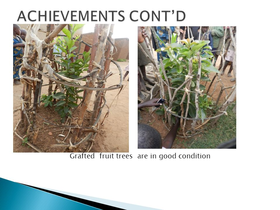 Grafted fruit trees are in good condition