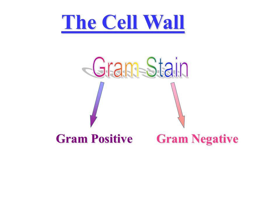 The Cell Wall Gram Positive Gram Negative