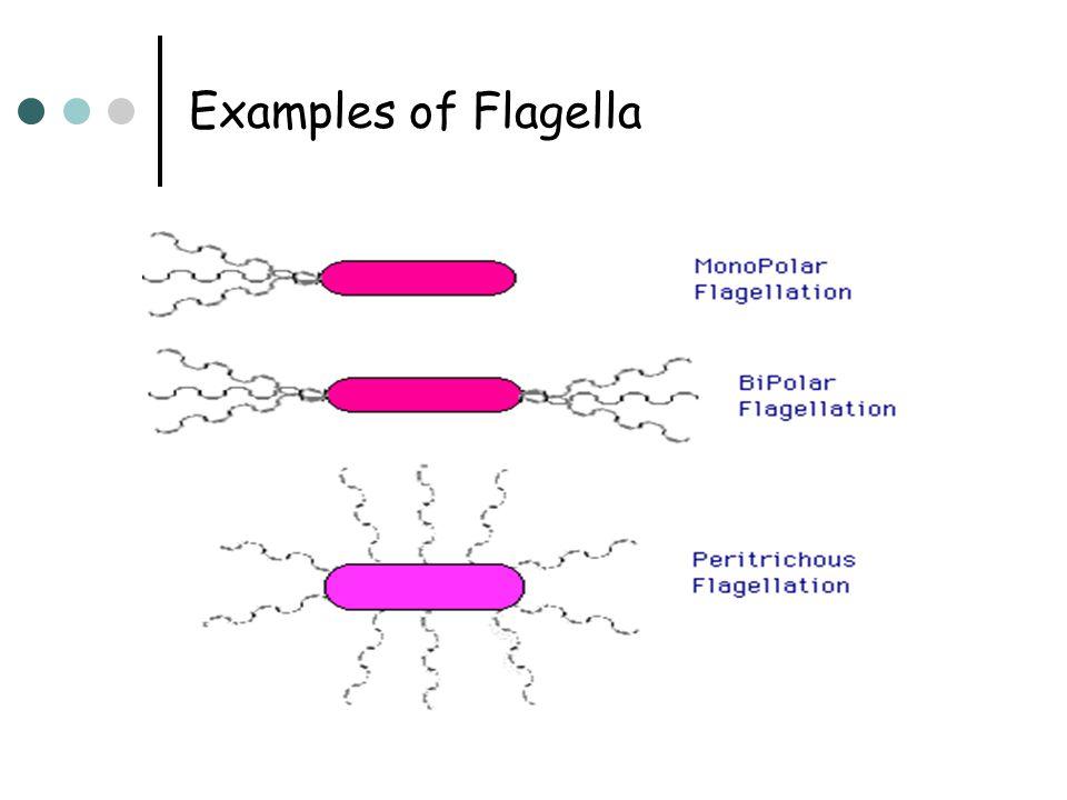 Examples of Flagella
