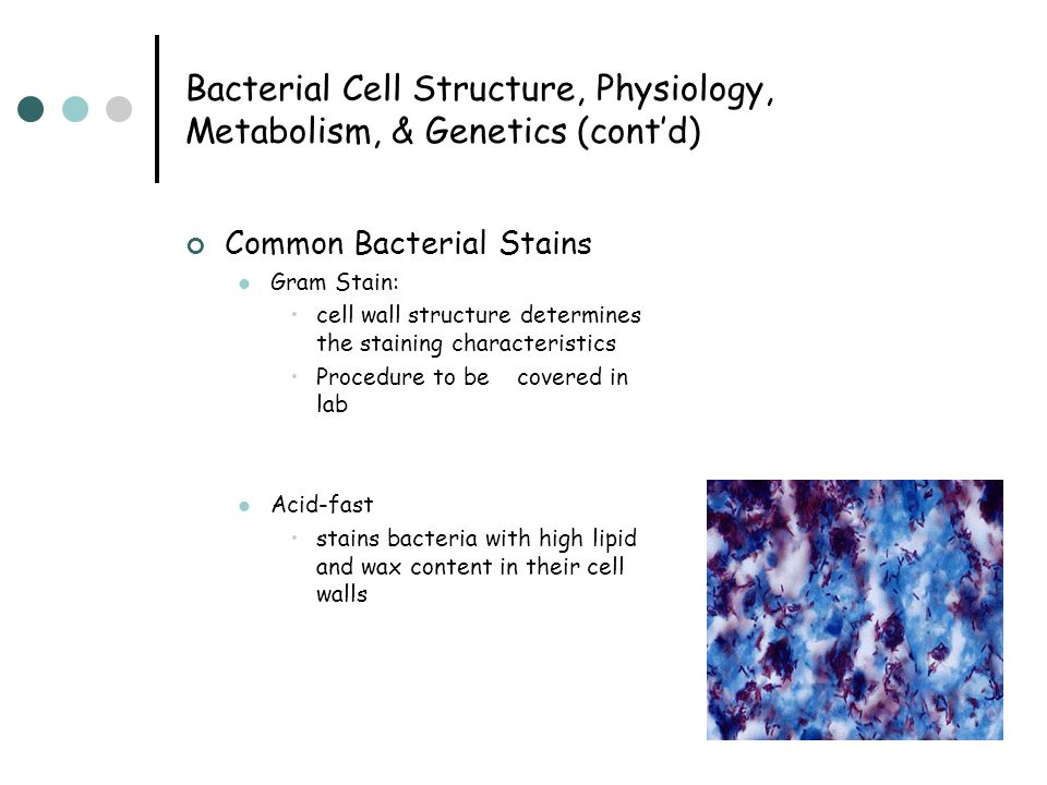 Bacterial Cell Structure, Physiology, Metabolism, & Genetics (cont'd) Common Bacterial Stains Gram Stain: cell wall structure determines the staining