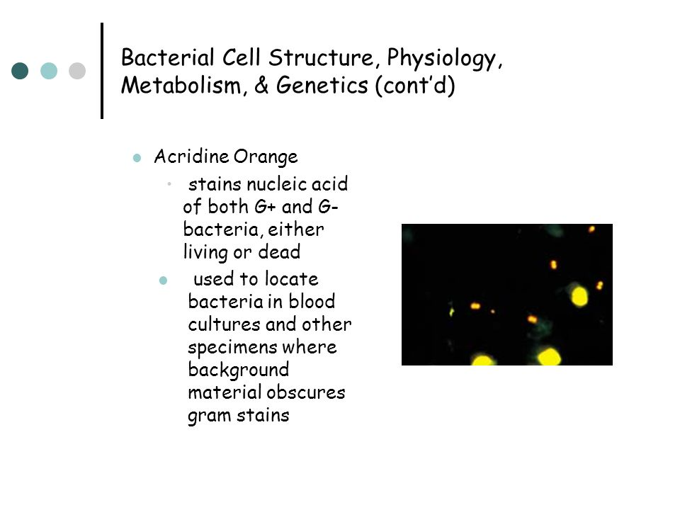 Bacterial Cell Structure, Physiology, Metabolism, & Genetics (cont'd) Acridine Orange stains nucleic acid of both G+ and G- bacteria, either living or