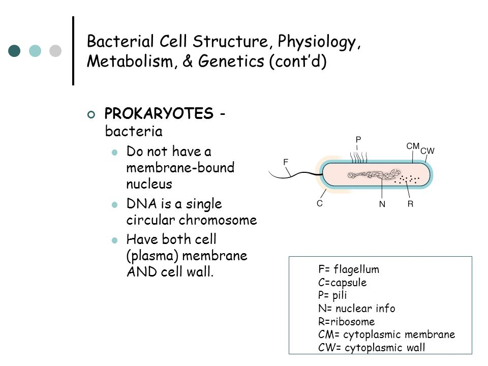 Bacterial Cell Structure, Physiology, Metabolism, & Genetics (cont'd) PROKARYOTES - bacteria Do not have a membrane-bound nucleus DNA is a single circ