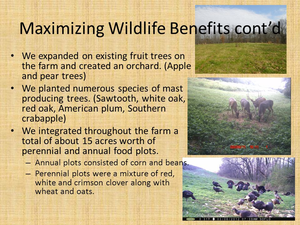 Maximizing Wildlife Benefits cont'd We expanded on existing fruit trees on the farm and created an orchard. (Apple and pear trees) We planted numerous