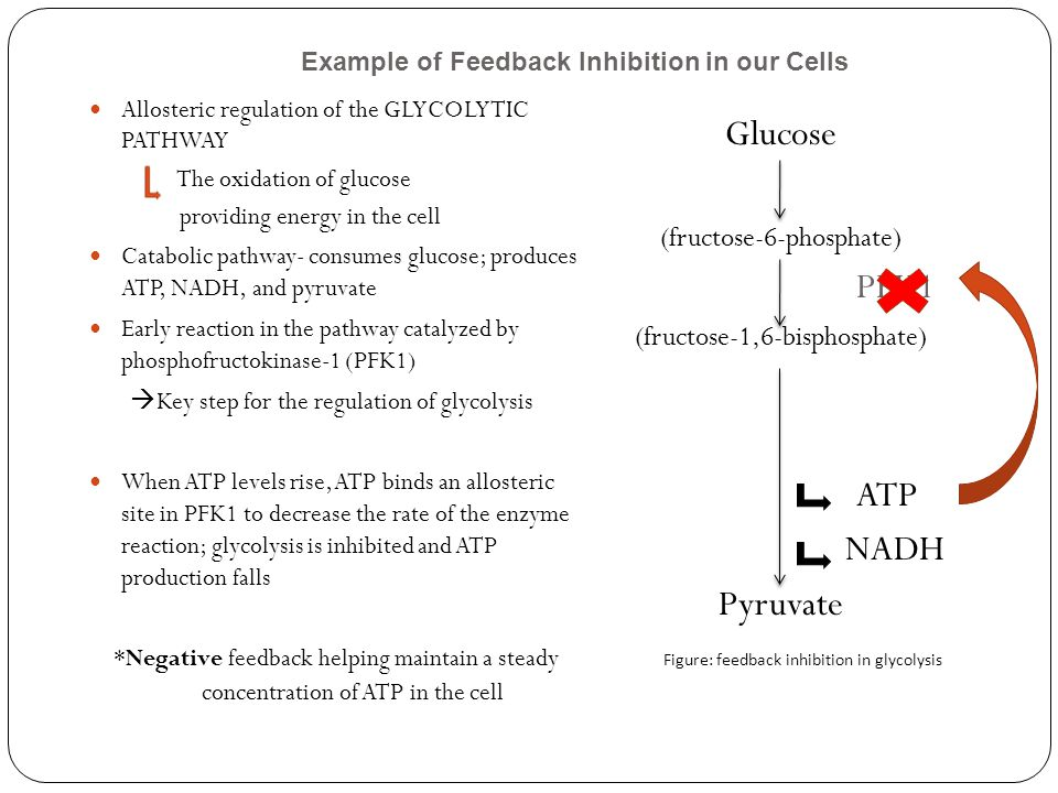 Allosteric regulation of the GLYCOLYTIC PATHWAY The oxidation of glucose providing energy in the cell Catabolic pathway- consumes glucose; produces ATP, NADH, and pyruvate Early reaction in the pathway catalyzed by phosphofructokinase-1 (PFK1)  Key step for the regulation of glycolysis When ATP levels rise, ATP binds an allosteric site in PFK1 to decrease the rate of the enzyme reaction; glycolysis is inhibited and ATP production falls *Negative feedback helping maintain a steady concentration of ATP in the cell Glucose (fructose-6-phosphate) PFK1 (fructose-1,6-bisphosphate) ATP NADH Pyruvate Figure: feedback inhibition in glycolysis Example of Feedback Inhibition in our Cells