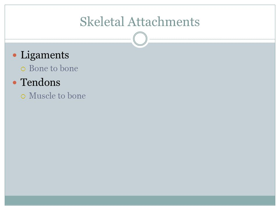 Skeletal Attachments Ligaments  Bone to bone Tendons  Muscle to bone