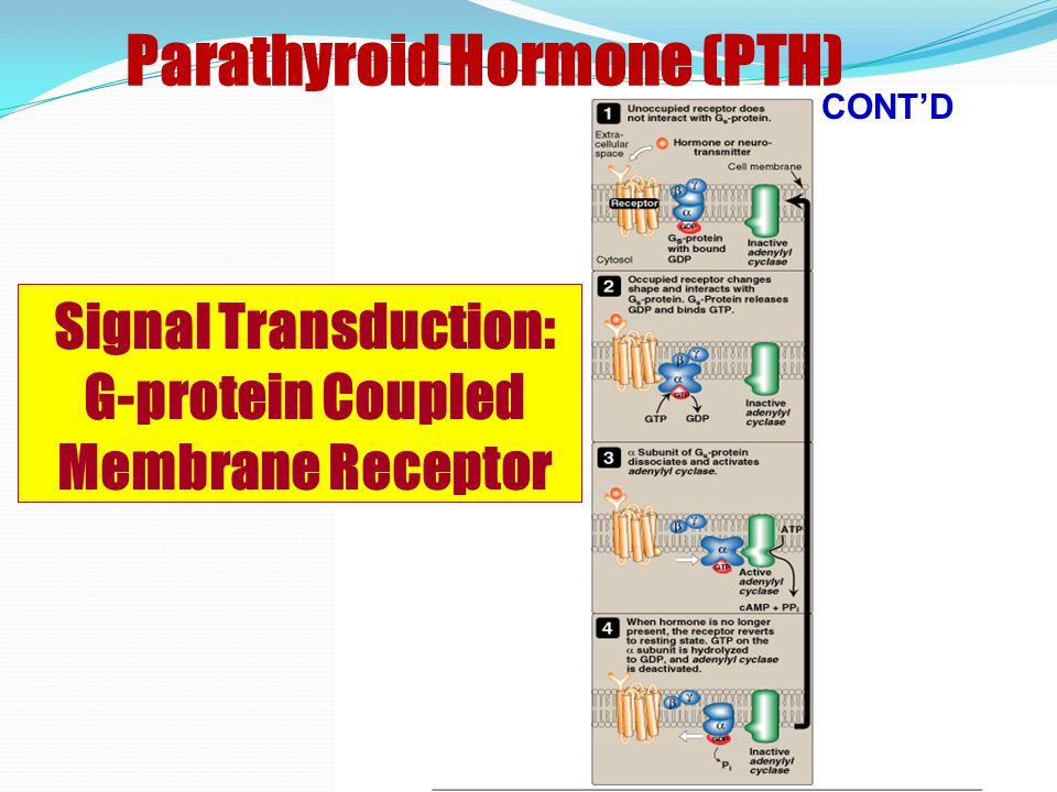 Parathyroid Hormone (PTH)  Stimulus: Decrease of ionized Ca 2+  Effects: Bone: Bone resorption Activated osteoclasts break down bone and releases calcium into ECF Kidneys: Tubular reabsorption of calcium Renal production of active vitamin D Phosphate excretion (Phosphaturic effect) Intestine: Intestinal absorption of calcium (Indirect) (Bone: Largest effect; Kidney: Rapid changes) CONT'D