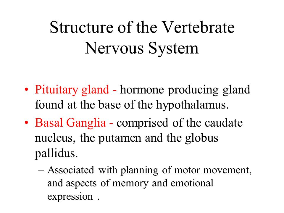Structure of the Vertebrate Nervous System Pituitary gland - hormone producing gland found at the base of the hypothalamus. Basal Ganglia - comprised