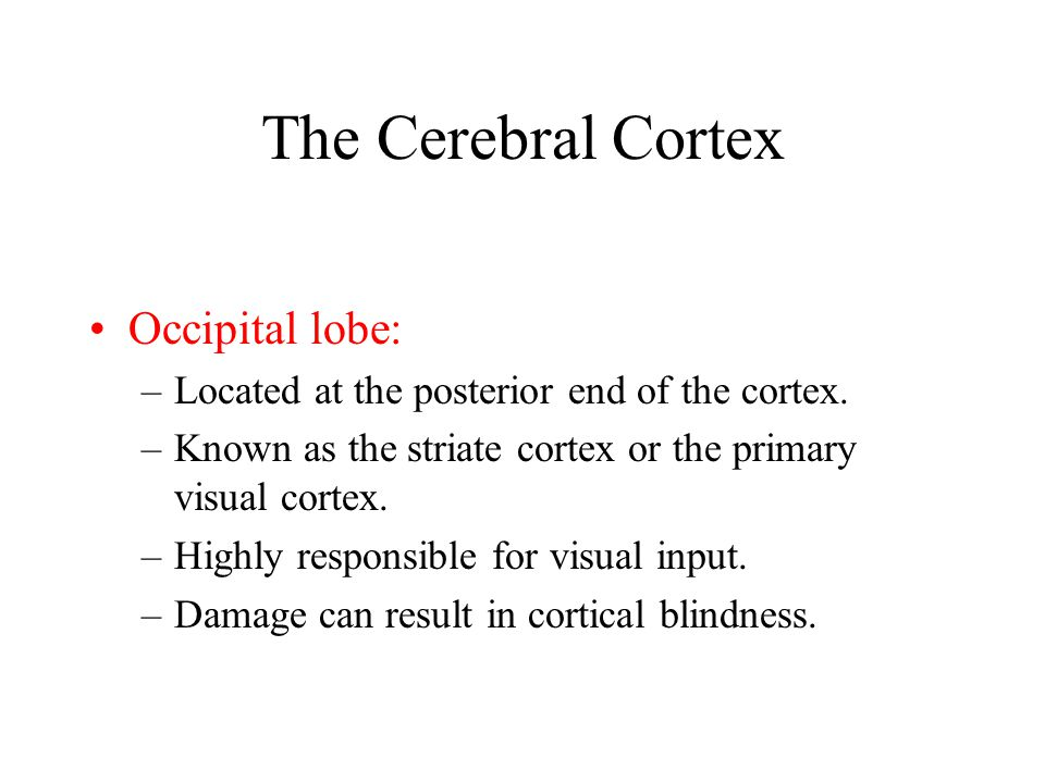 The Cerebral Cortex Occipital lobe: –Located at the posterior end of the cortex. –Known as the striate cortex or the primary visual cortex. –Highly re