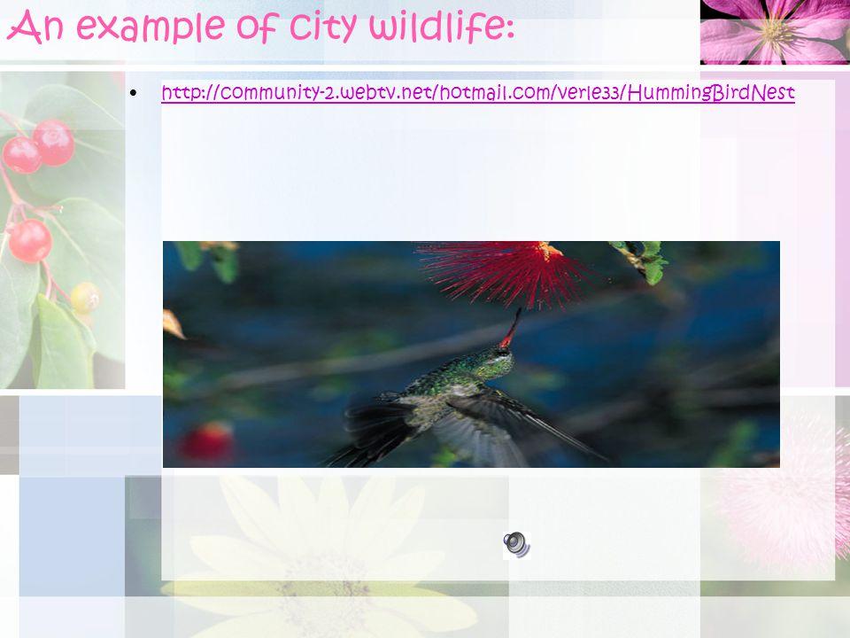An example of city wildlife: http://community-2.webtv.net/hotmail.com/verle33/HummingBirdNest