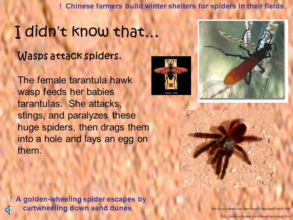 Wasps attack spiders. The female tarantula hawk wasp feeds her babies tarantulas. She attacks, stings, and paralyzes these huge spiders, then drags th