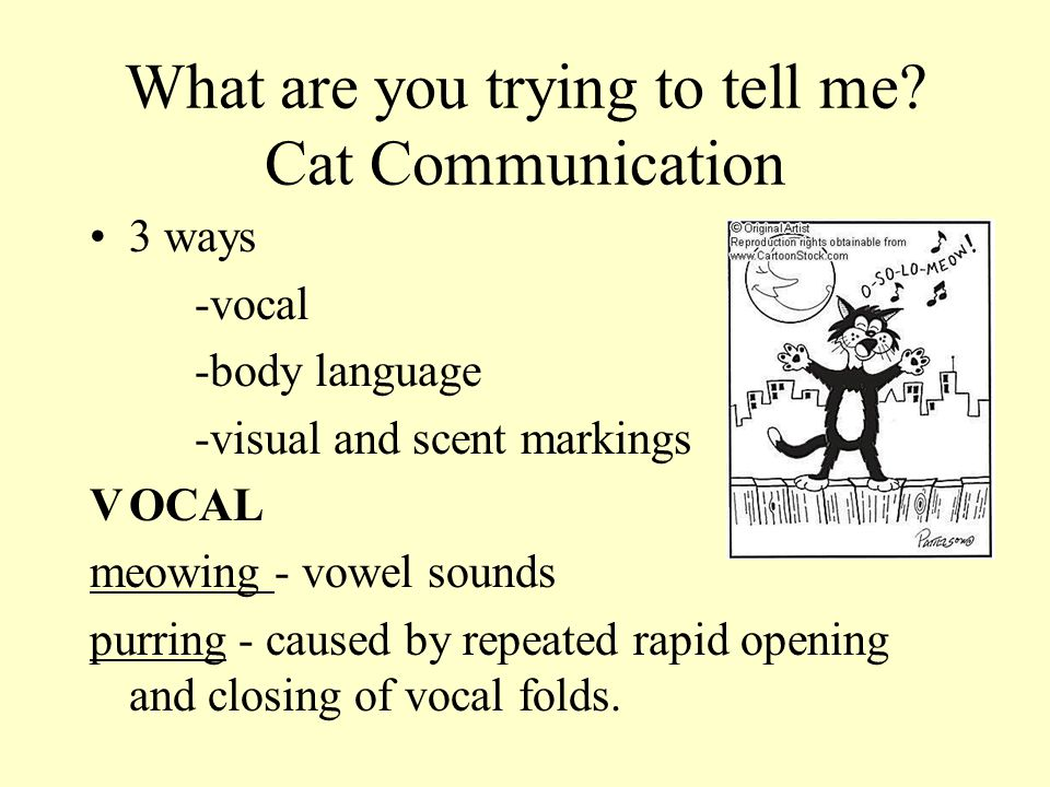 What are you trying to tell me? Cat Communication 3 ways -vocal -body language -visual and scent markings VOCAL meowing - vowel sounds purring - cause