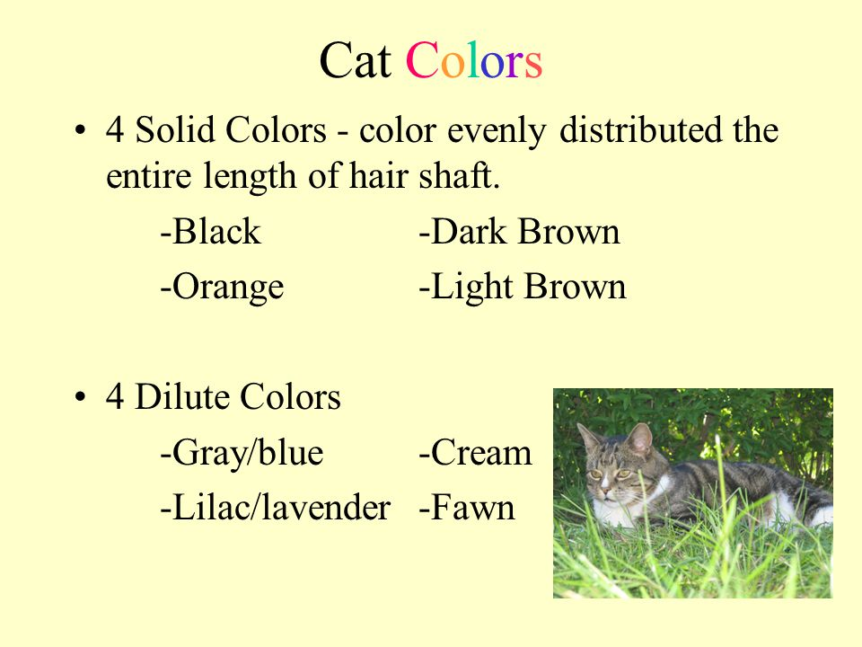 Cat Colors 4 Solid Colors - color evenly distributed the entire length of hair shaft. -Black-Dark Brown -Orange-Light Brown 4 Dilute Colors -Gray/blue