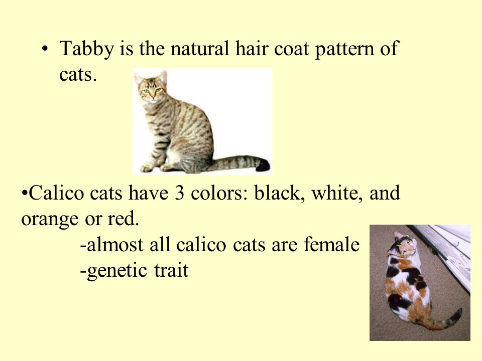 Tabby is the natural hair coat pattern of cats. Calico cats have 3 colors: black, white, and orange or red. -almost all calico cats are female -geneti