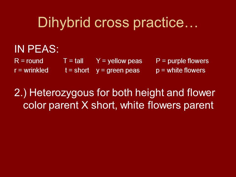Dihybrid cross practice… IN PEAS: R = round T = tall Y = yellow peasP = purple flowers r = wrinkled t = short y = green peasp = white flowers 2.) Hete