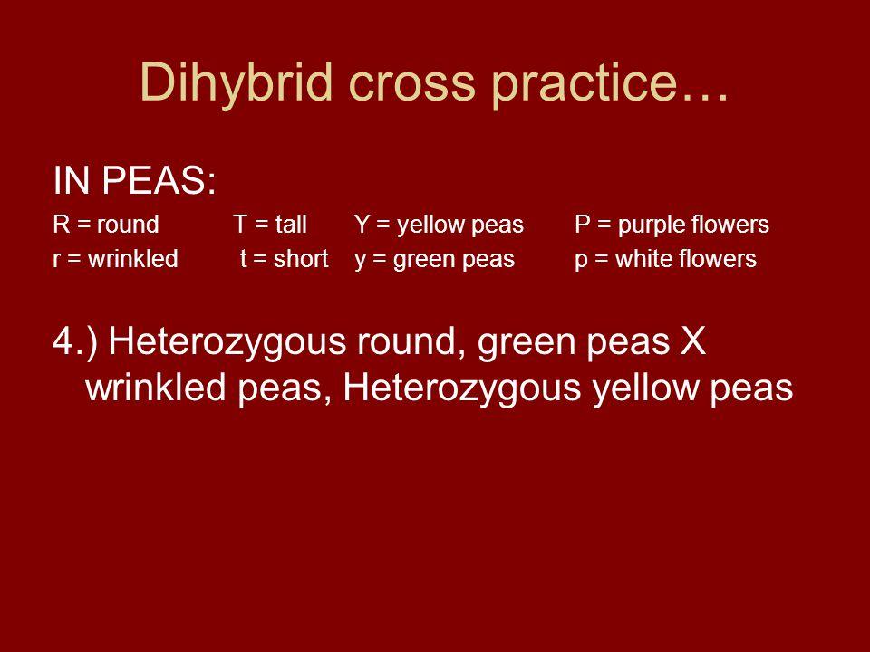 Dihybrid cross practice… IN PEAS: R = round T = tall Y = yellow peasP = purple flowers r = wrinkled t = short y = green peasp = white flowers 4.) Hete