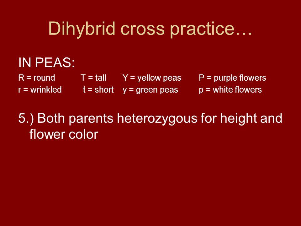 Dihybrid cross practice… IN PEAS: R = round T = tall Y = yellow peasP = purple flowers r = wrinkled t = short y = green peasp = white flowers 5.) Both