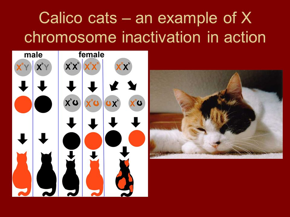 Calico cats – an example of X chromosome inactivation in action