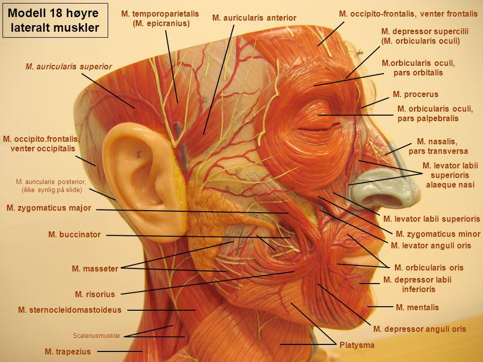 Modell 18 høyre lateralt muskler M. occipito-frontalis, venter frontalis M. auricularis anterior M. temporoparietalis (M. epicranius) M. auricularis s