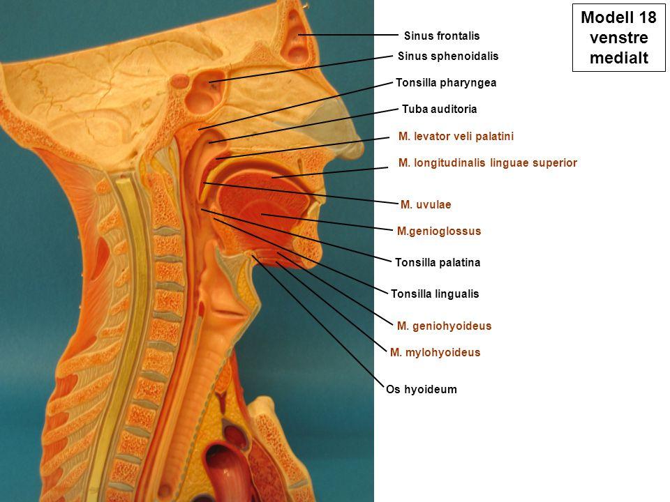 Modell 18 venstre medialt Sinus frontalis Sinus sphenoidalis Tuba auditoria Tonsilla pharyngea Tonsilla palatina Tonsilla lingualis M. mylohyoideus M.