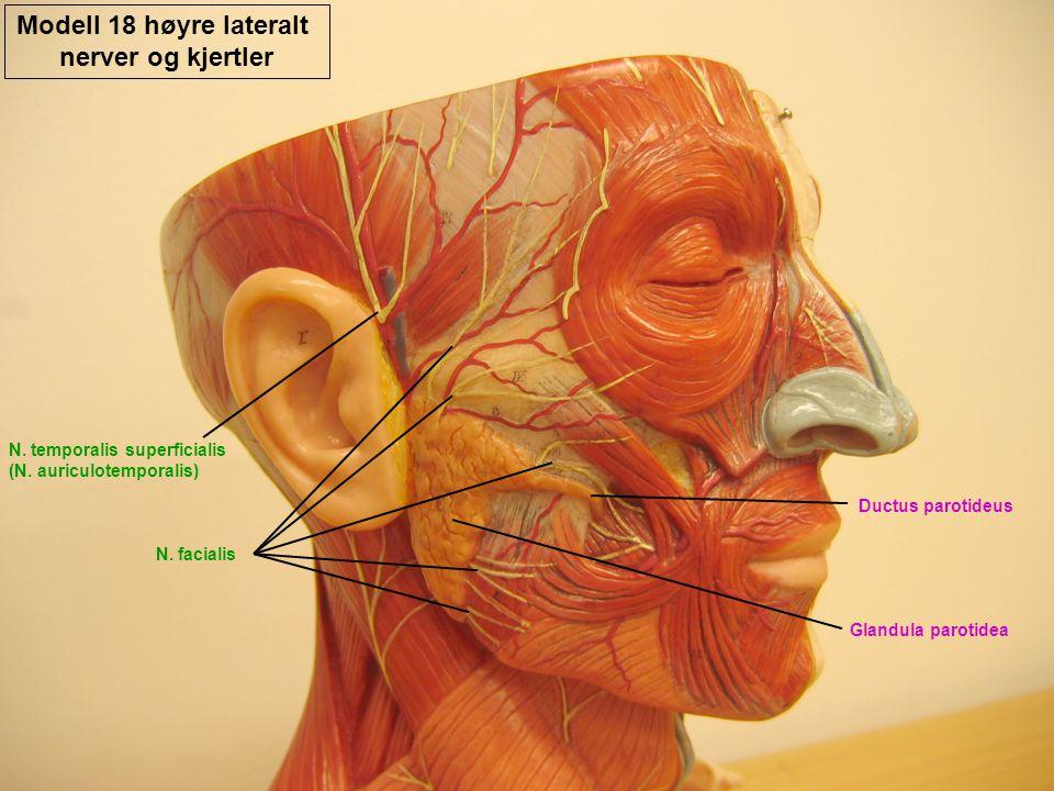 Modell 18 høyre lateralt nerver og kjertler N. facialis N. temporalis superficialis (N. auriculotemporalis) Glandula parotidea Ductus parotideus