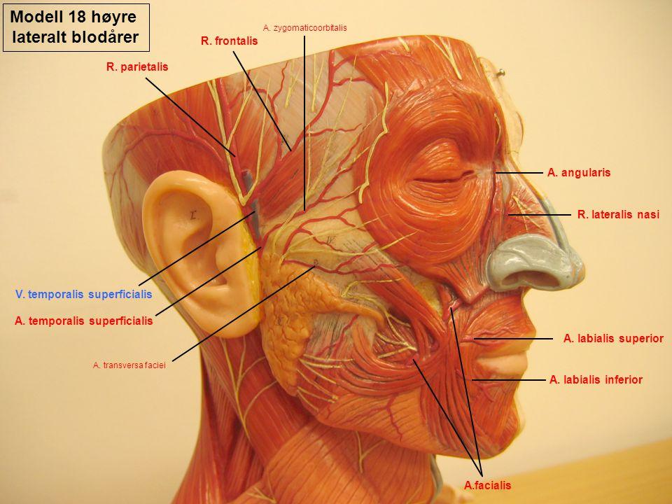 Modell 18 høyre lateralt blodårer A.facialis A. angularis R. lateralis nasi A. temporalis superficialis A. labialis superior A. labialis inferior A. t