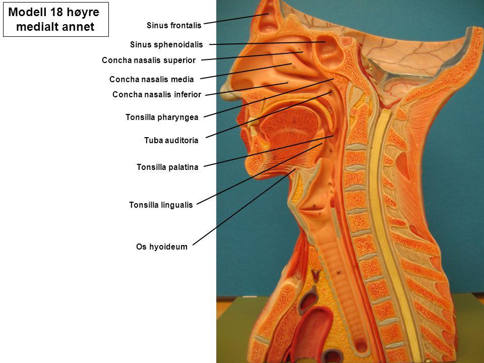 Modell 18 høyre medialt annet Sinus frontalis Sinus sphenoidalis Concha nasalis superior Concha nasalis media Concha nasalis inferior Tonsilla pharyng