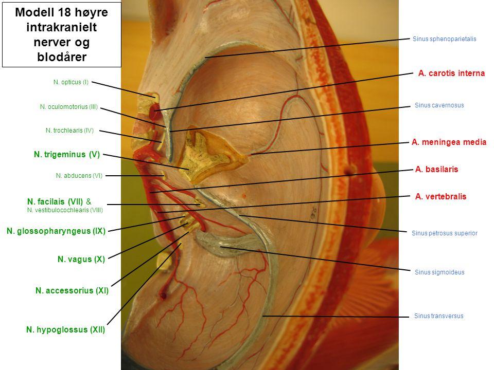 Modell 18 høyre intrakranielt nerver og blodårer N. hypoglossus (XII) N. accessorius (XI) N. vagus (X) N. glossopharyngeus (IX) A. vertebralis A. basi
