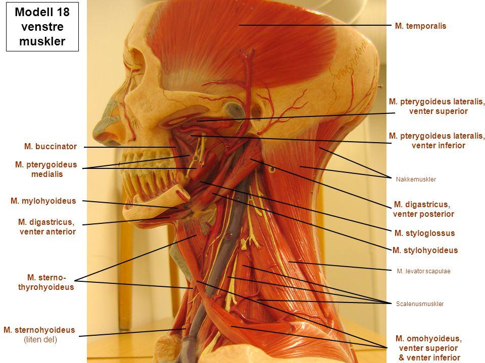 Modell 18 venstre muskler M. temporalis M. pterygoideus lateralis, venter superior M. pterygoideus lateralis, venter inferior M. digastricus, venter p