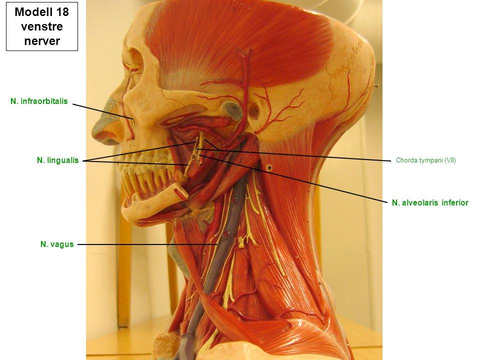 N. lingualis N. alveolaris inferior Chorda tympani (VII) N. infraorbitalis N. vagus Modell 18 venstre nerver