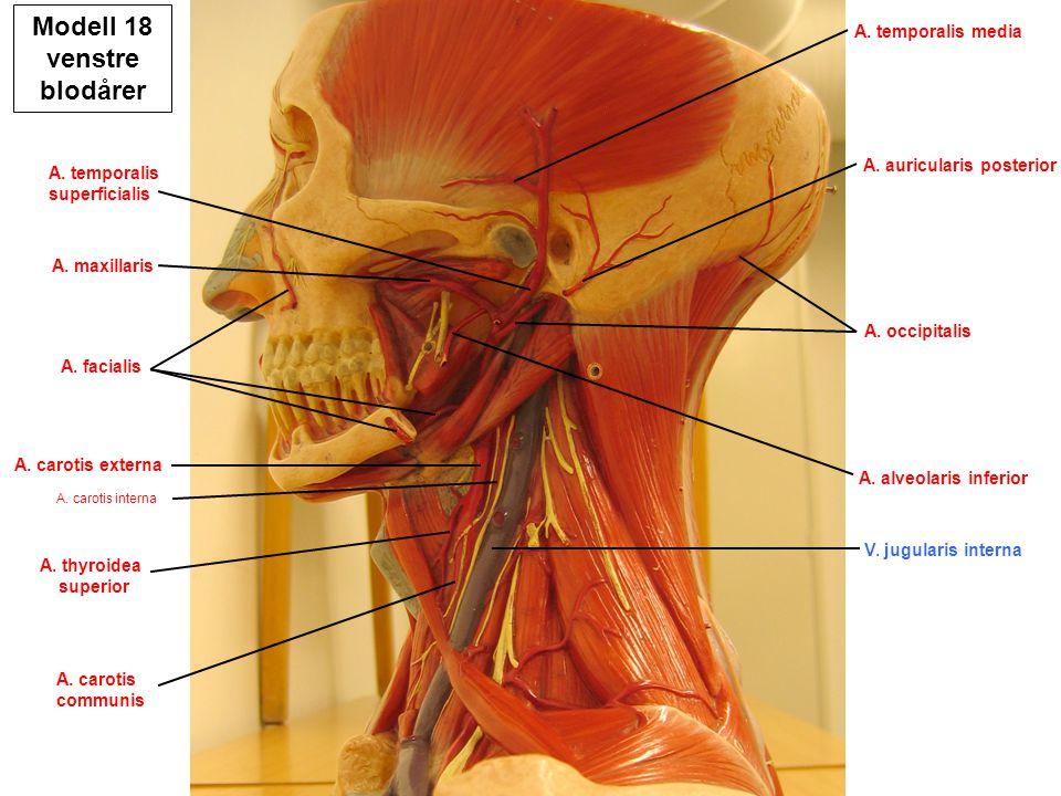 Modell 18 venstre medialt Sinus frontalis Sinus sphenoidalis Tuba auditoria Tonsilla pharyngea Tonsilla palatina Tonsilla lingualis M.