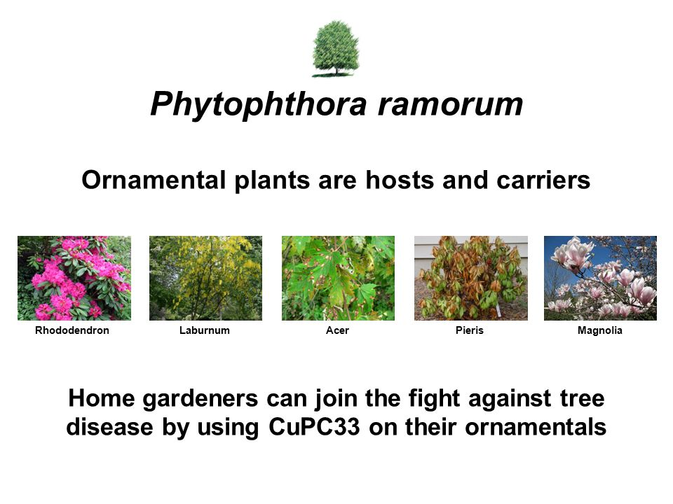 Home gardeners can join the fight against tree disease by using CuPC33 on their ornamentals Phytophthora ramorum Ornamental plants are hosts and carri