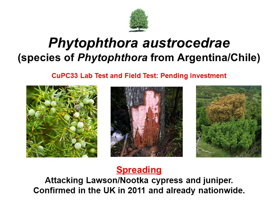 Spreading Attacking Lawson/Nootka cypress and juniper. Confirmed in the UK in 2011 and already nationwide. Phytophthora austrocedrae (species of Phyto