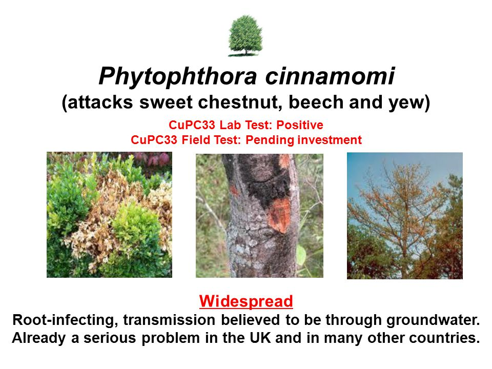Phytophthora cinnamomi (attacks sweet chestnut, beech and yew) CuPC33 Lab Test: Positive CuPC33 Field Test: Pending investment Widespread Root-infecting, transmission believed to be through groundwater.