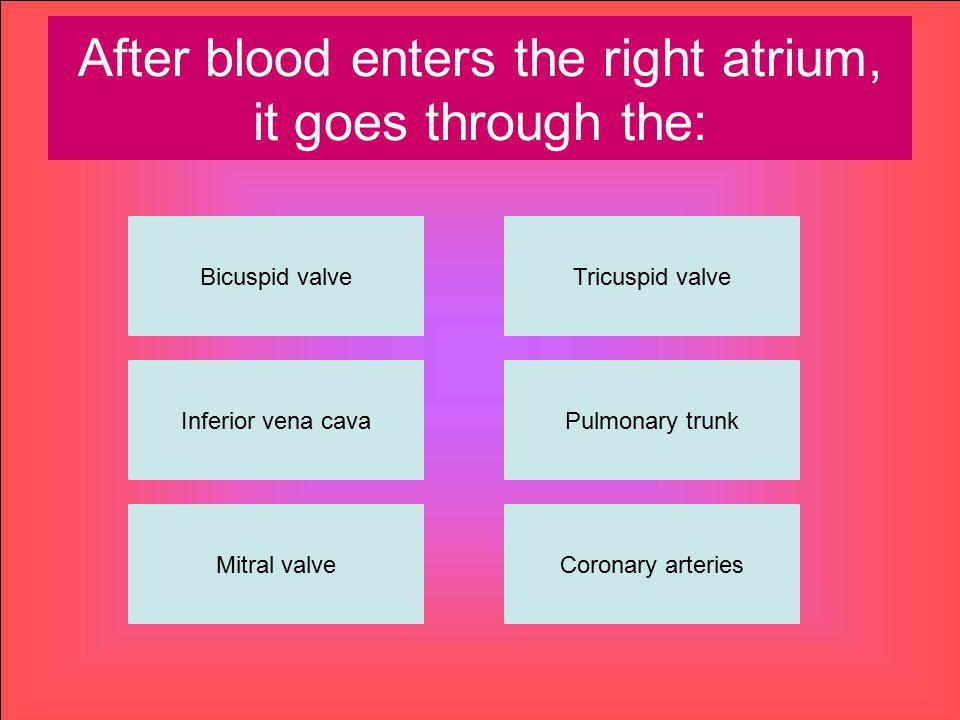 After blood enters the right atrium, it goes through the: Bicuspid valve Inferior vena cava Mitral valveCoronary arteries Pulmonary trunk Tricuspid va