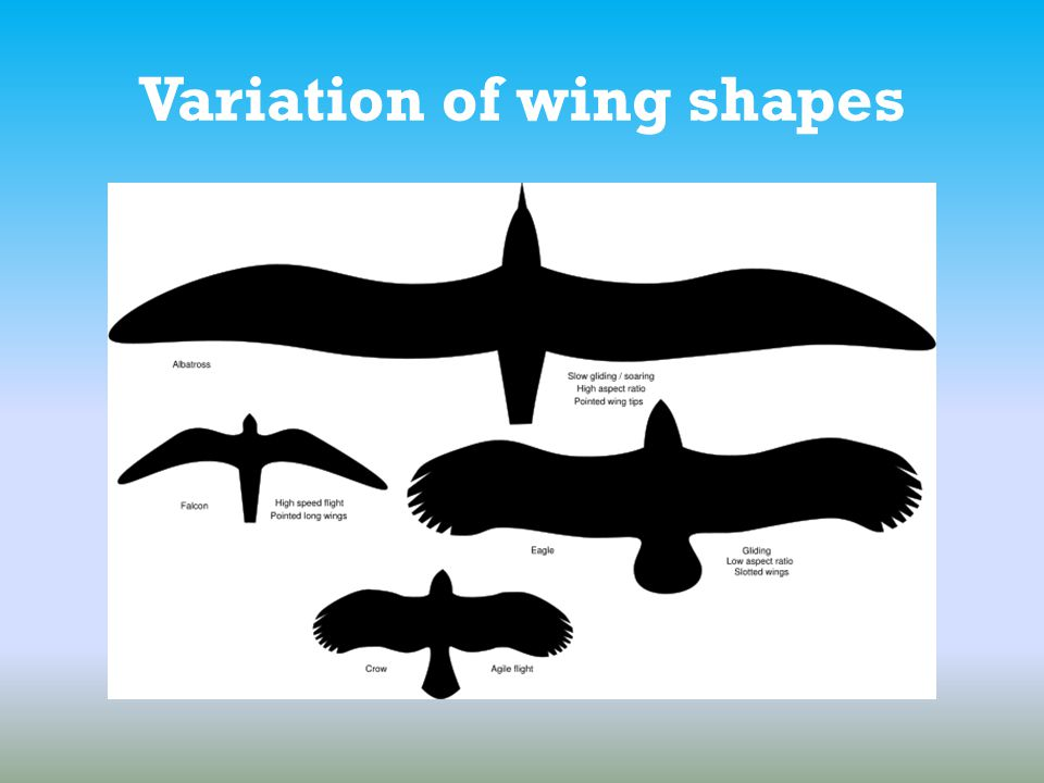 Variation of wing shapes