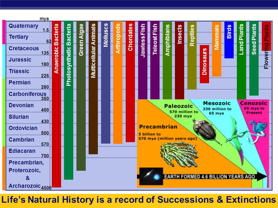 AP Biology Life's Natural History is a record of Successions & Extinctions Quaternary Tertiary Cretaceous Jurassic Triassic Permian Carboniferous Devonian Silurian Ordovician Cambrian Ediacaran Precambrian, Proterozoic, & Archarozoic Anaerobic Bacteria Insects Reptiles Dinosaurs Mammals Birds Land Plants Seed Plants Plants Arthropods Chordates Jawless Fish Teleost Fish Amphibians Photosynthetic Bacteria Green Algae Multicellular Animals Molluscs 1.5 4500 700 63 135 180 225 280 350 400 430 500 570 Flowering mya