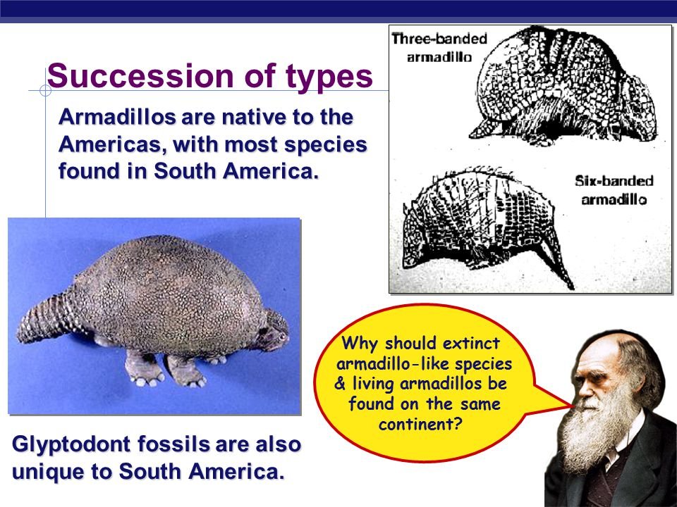 AP Biology Armadillos are native to the Americas, with most species found in South America.
