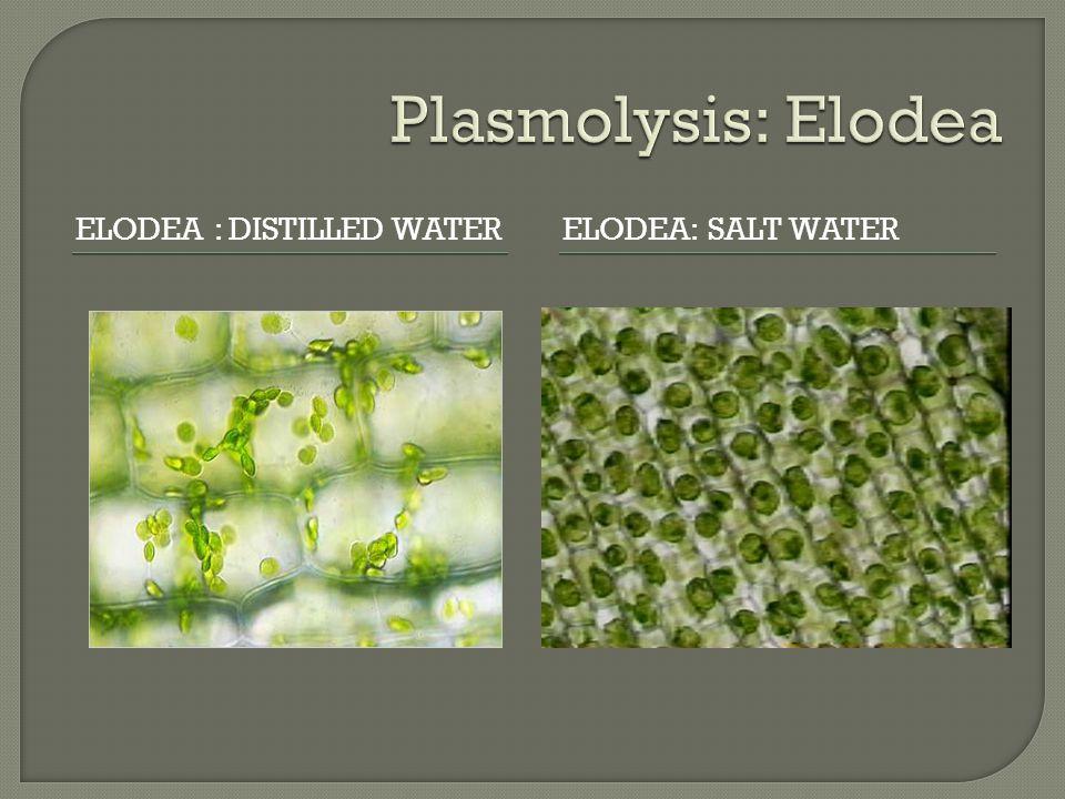 ELODEA : DISTILLED WATERELODEA: SALT WATER