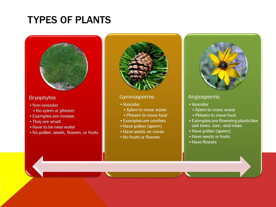 TYPES OF PLANTS Bryophytes Non-vascular No xylem or phloem Examples are mosses They are small Have to be near water No pollen, seeds, flowers, or frui