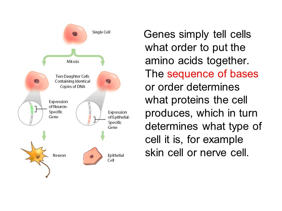 How Does DNA Control A Cell.