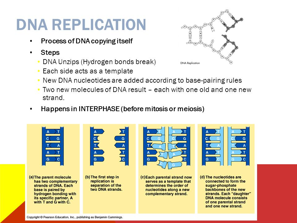 DNA REPLICATION Process of DNA copying itself Steps DNA Unzips (Hydrogen bonds break) Each side acts as a template New DNA nucleotides are added accor