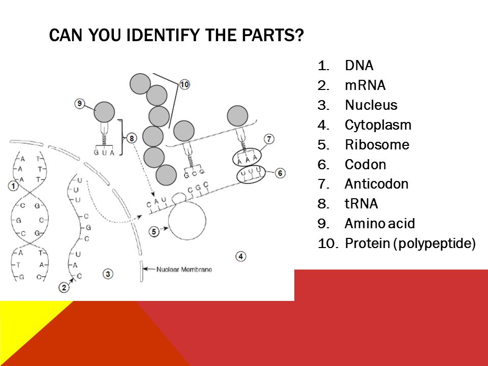 1.DNA 2.mRNA 3.Nucleus 4.Cytoplasm 5.Ribosome 6.Codon 7.Anticodon 8.tRNA 9.Amino acid 10.Protein (polypeptide) CAN YOU IDENTIFY THE PARTS?