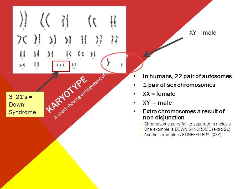 KARYOTYPE In humans, 22 pair of autosomes 1 pair of sex chromosomes XX = female XY = male Extra chromosomes a result of non-disjunction Chromosome pai
