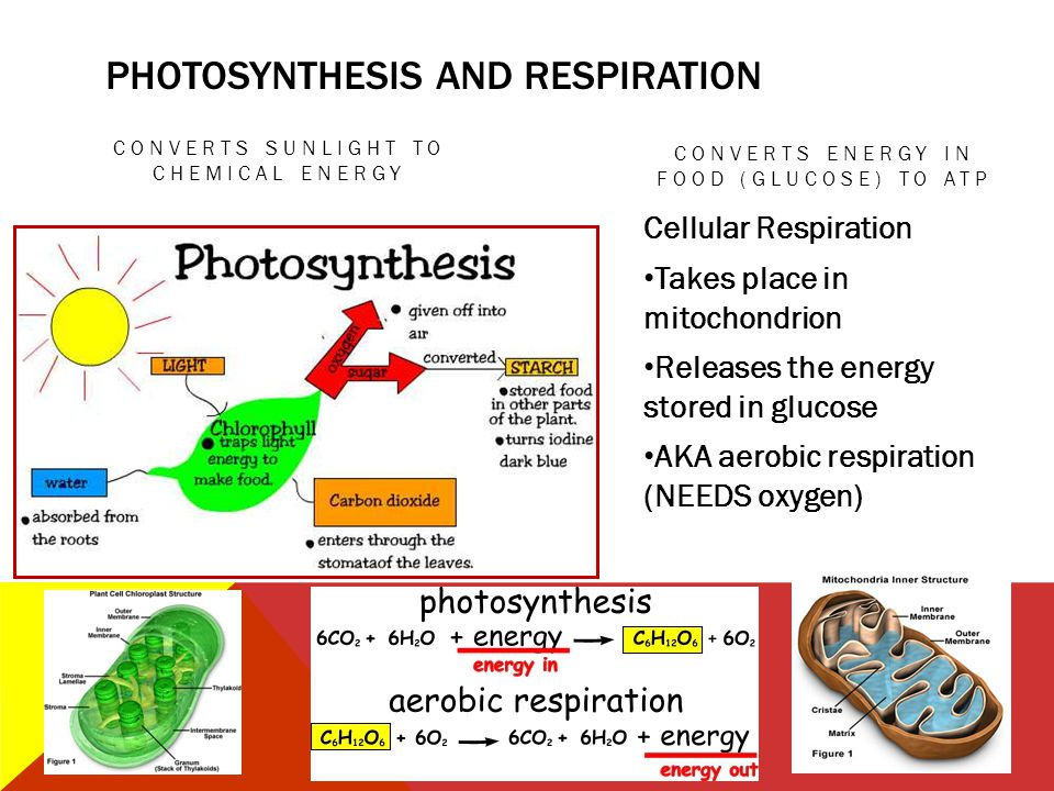 AEROBIC VS ANAEROBIC RESPIRATION AEROBIC RESPIRATION Requires oxygen Makes A LOT of ATP Produces carbon dioxide and water Happens in mitochondrion ANAEROBIC RESPIRATION Does not use oxygen Makes only 2 ATP Small amount of ATP Also called fermentation YEASTS make ethyl alcohol BACTERIA and MUSCLE CELLS (w/o O 2 ) make LACTIC ACID Happens in cytoplasm (cytosol)