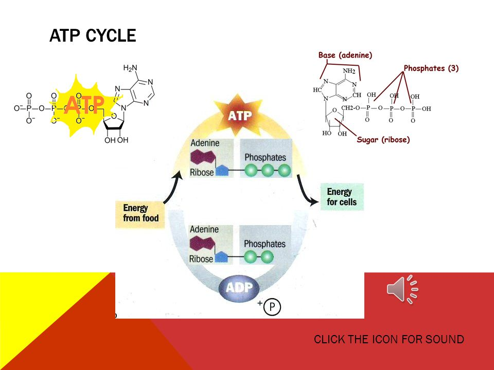 ATP CYCLE CLICK THE ICON FOR SOUND