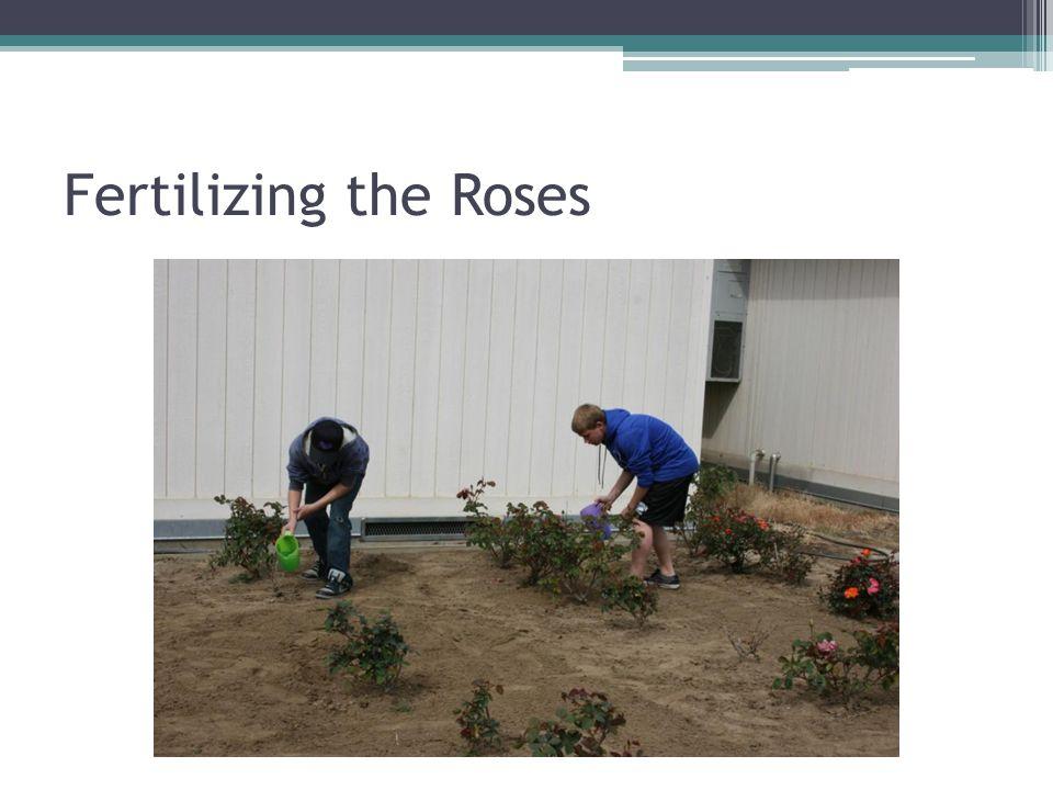 Fertilizing the Roses