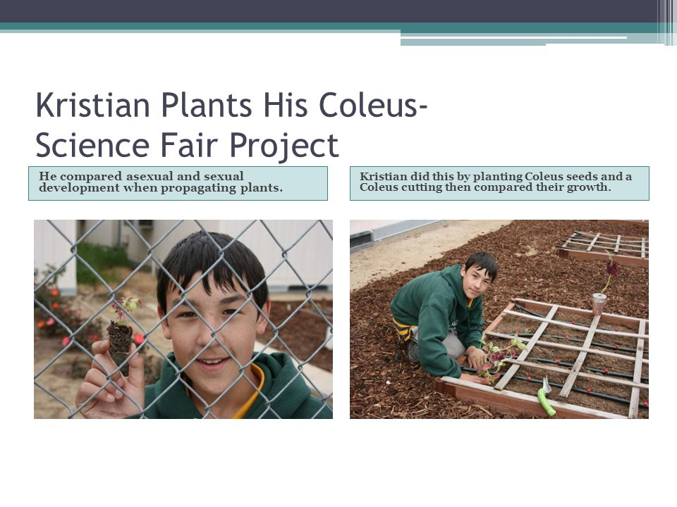 Kristian Plants His Coleus- Science Fair Project He compared asexual and sexual development when propagating plants. Kristian did this by planting Col