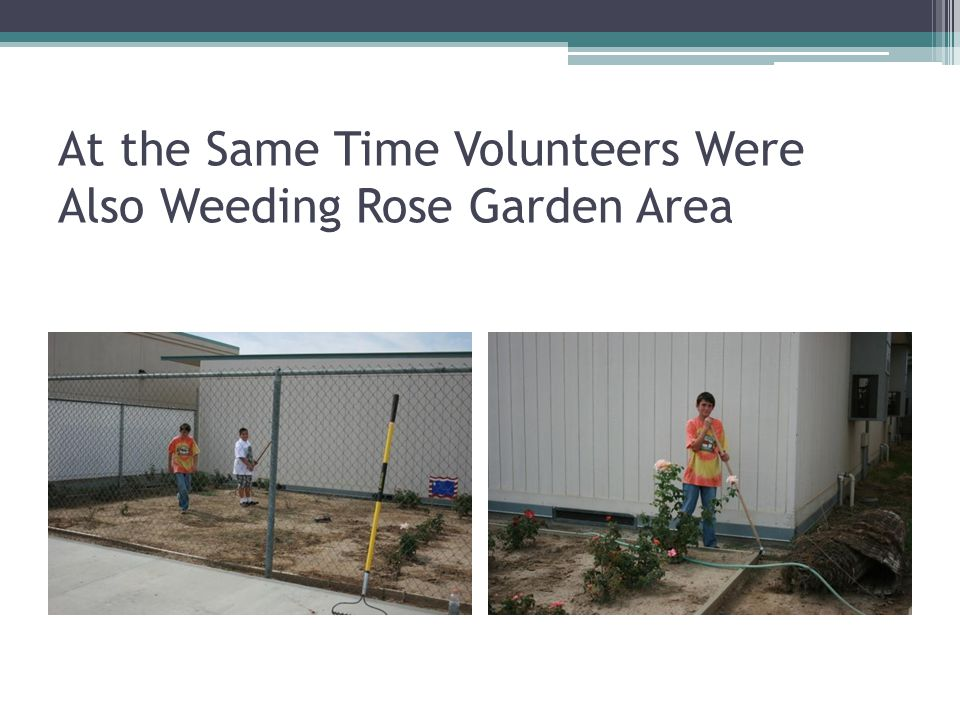 At the Same Time Volunteers Were Also Weeding Rose Garden Area
